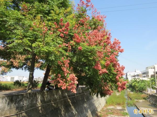 中市龍井公所後方有一條「台灣欒樹隧道」的小秘境,此時樹梢正結紅色果實。(記者蘇金鳳攝)
