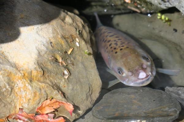 國寶魚櫻花鉤吻鮭。(民眾提供)