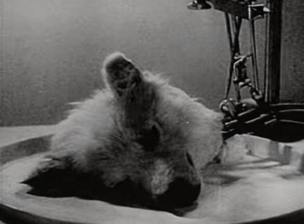前蘇聯科學家在1928年,把一顆已經死亡至少10分鐘的狗頭成功復活。(圖擷取自影片)
