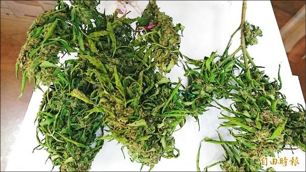 印度混合種大麻,比較矮小,這種混合種結花較多 。(記者王捷攝)
