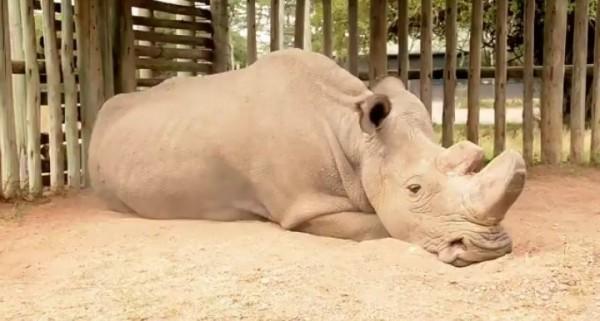 美國波士頓生物學家施奈德(Daniel Schneider)近日上傳北非白犀牛蘇丹(Sudan)的照片。(圖取自推特)