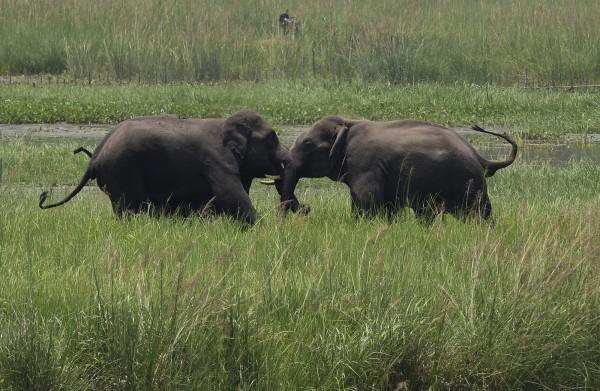 上週六(11日)在非洲尚比亞一處野生動物園有2名觀光客因拍照時與大象靠太近,不幸遭踩死身亡。圖為大象示意圖。(美聯社)