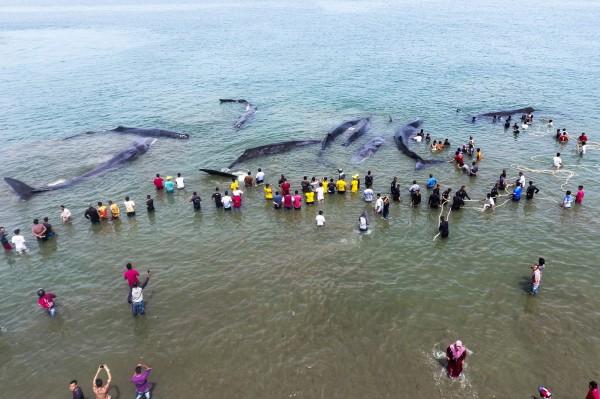 印尼蘇門答臘北部亞齊省一處沙灘,13日驚見大量抹香鯨擱淺受困。(法新社)