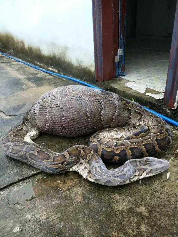 一條貪心的蟒蛇吞下比牠體重還重10公斤的母山羊,最後下場是活活「撑死」。(圖擷自中國《海南網新聞》)
