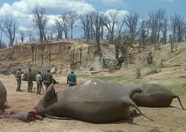 川普新政策准許讓於非洲國家境內獵殺的大象做為戰利品帶回美國,當局甚稱此舉「有助於大象保育」。(資料照,路透)