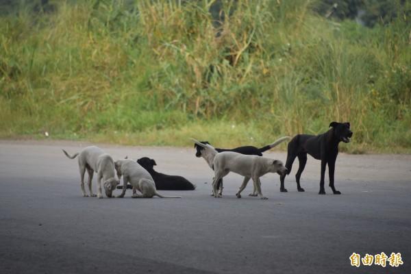 高屏溪寵物公園流浪犬聚集,數量相當驚人(記者葉永騫攝)
