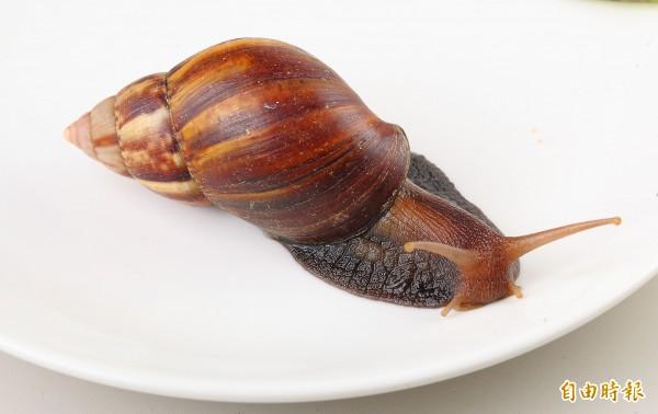 非洲大蝸牛體型大、體色黑,肉質較硬,經常被一般熱炒店用來做為炒螺肉。(記者李惠洲攝)