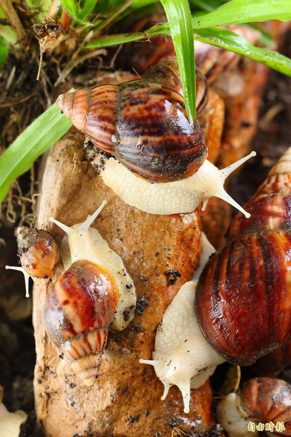 白玉蝸牛肉質軟嫩無腥味,很適合烤、炒、炸等製成各式料理。(記者李惠洲攝)
