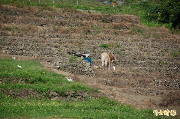 東海岸農地被劃為山坡地,開發受限制。(記者張存薇攝)