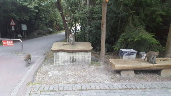 台灣獼猴經常出現在武陵農場內,危害農作。(記者李忠憲翻攝)