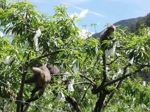 台灣獼猴啃食武陵農場內的高價水果,造成農損。(記者李忠憲翻攝)