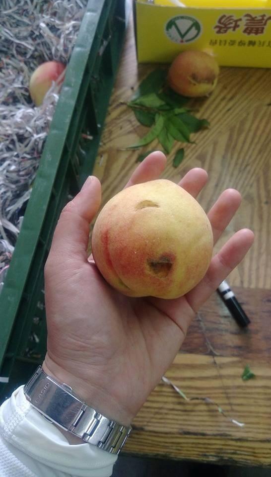 熟成水蜜桃遭獼猴啃食。(記者李忠憲翻攝)