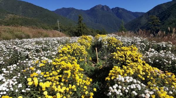 武陵農場減少果園面積,改種杭菊。(記者李忠憲翻攝)