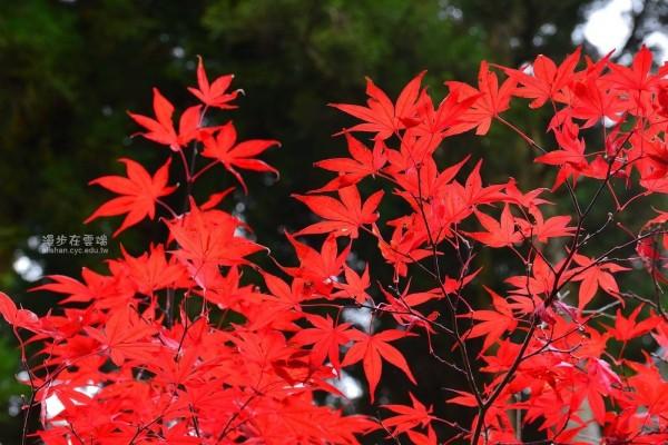 黃源明說,11月初阿里山曾出現5度低溫,當時就出現第一波楓紅。(翻攝漫步在雲端的阿里山臉書)