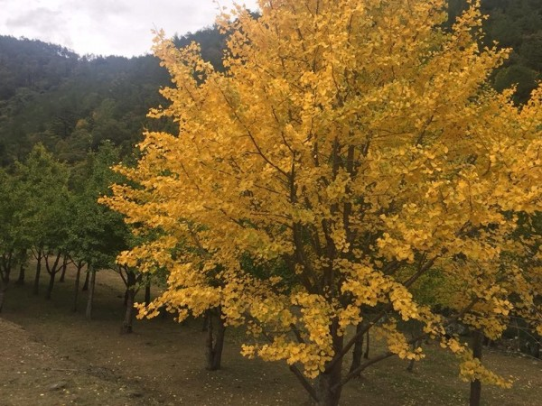 武陵農場的銀杏黃了。(武陵農場提供)