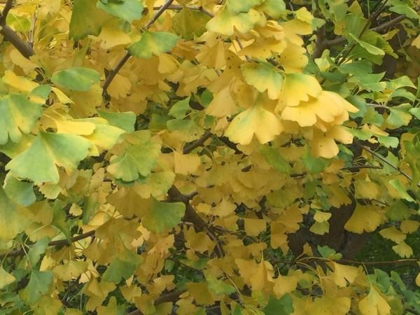 銀杏葉轉黃十分美麗。(武陵農場提供)