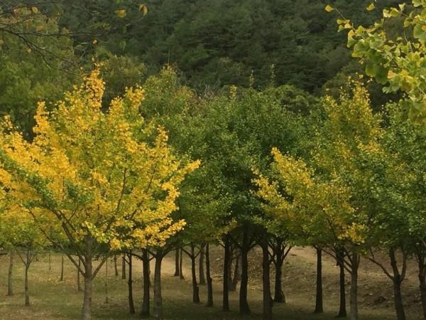 武陵農場的銀杏林。(武陵農場提供)