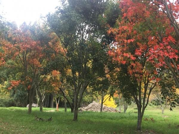 武陵農場的楓紅。(武陵農場提供)