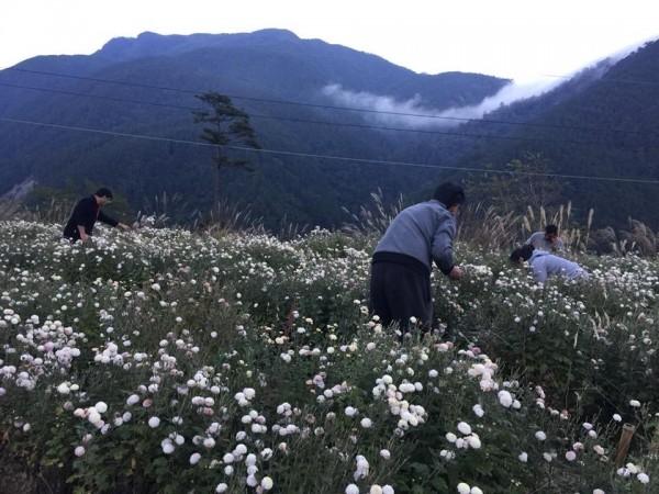 武陵農場這幾年也種杭菊,9月至11月杭菊花季及採收期。(武陵農場提供)