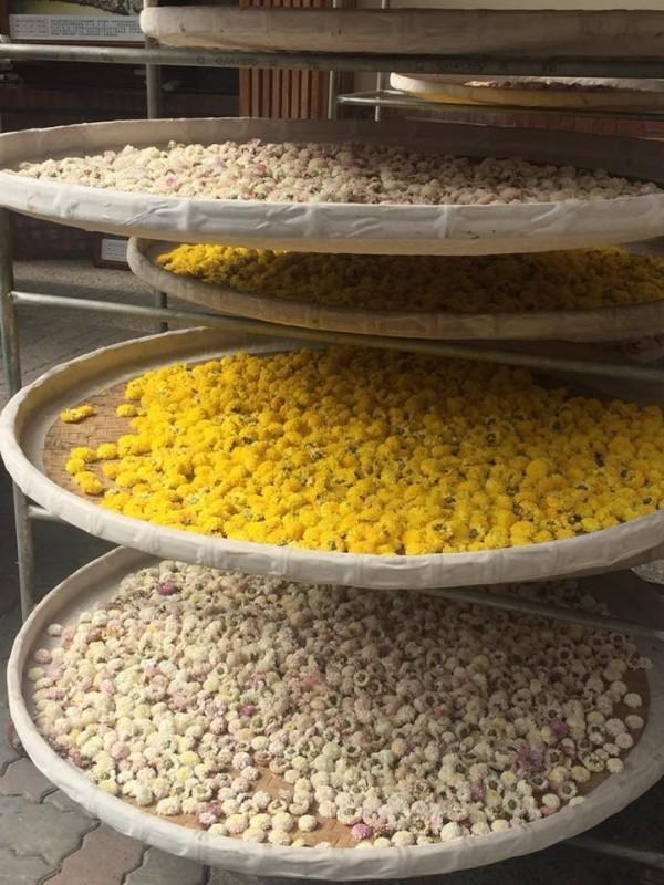武陵農場的杭菊採收後會烘乾販售。(武陵農場提供)