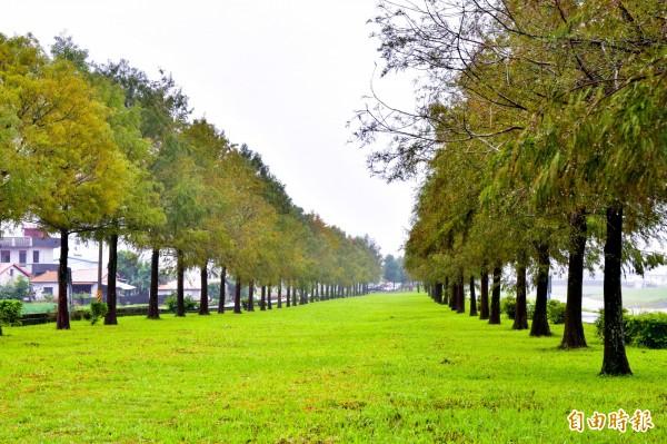 宜蘭三星鄉安農溪旁的落羽松林,近日已開始隨氣候變色。(記者張議晨攝)