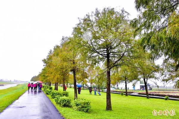 宜蘭三星鄉安農溪旁的落羽松林,近日已開始隨氣候變色,即便天氣不穩,仍吸引不少遊客慕名而來。(記者張議晨攝)