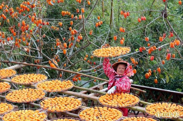 味衛佳柿餅觀光農場的柿餅婆婆,今年受到少颱風、柿子大產的影響,將要「加班」持續晒柿餅到明年2月份。(記者黃美珠攝)