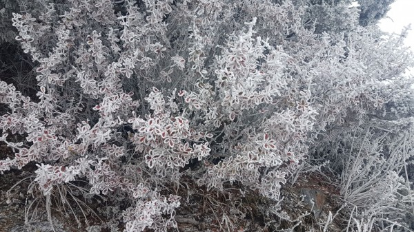 低溫讓植物覆蓋霧淞。(玉山氣象站提供)
