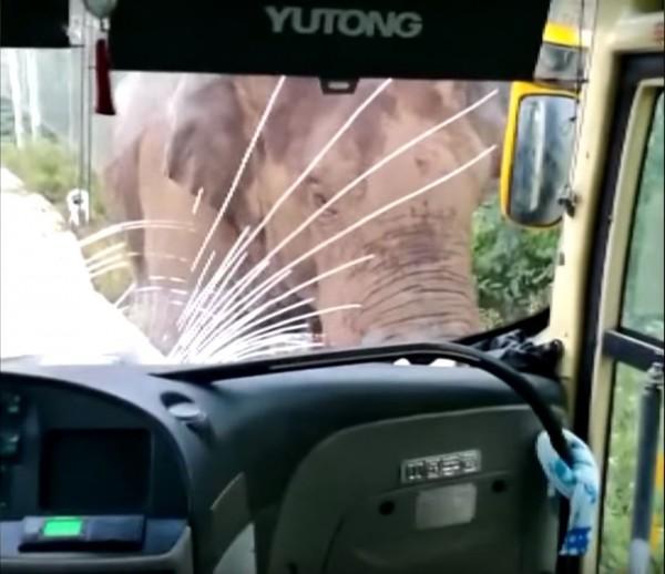 一頭野象迅速走到巴士旁,圍繞著車觀察,並用頭頂巴士,不但把擋風玻璃撞裂,還把巴士往後推了幾公尺。(圖擷自《今日俄羅斯》YouTube)
