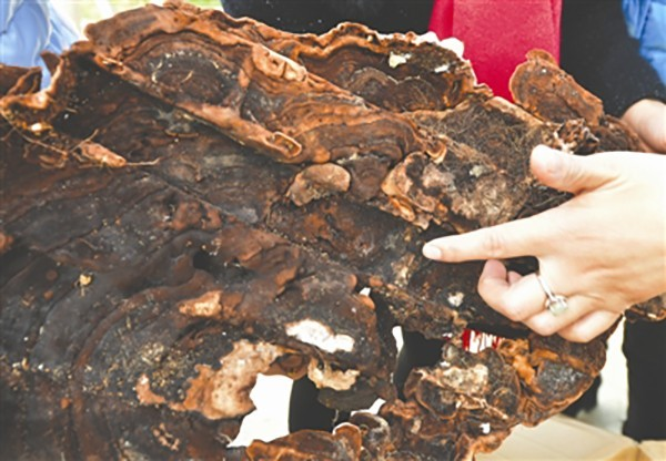 這菌體非常大一片,李女一家上網查後發現應為價值不斐的「血靈芝」。(取自搜狐)