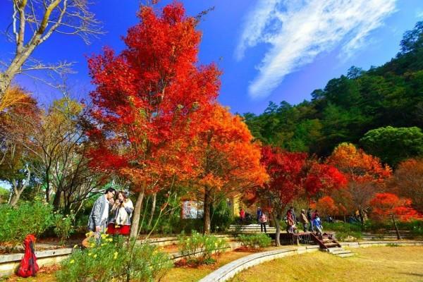 武陵農場四季皆美,是網友的最愛,搶下10大熱搜旅遊景點冠軍。(圖為武陵農場去年楓葉季美景,取自武陵農場臉書粉絲團)。