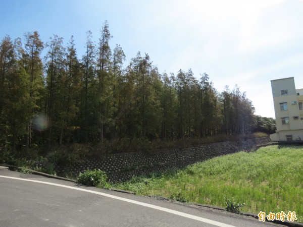 中市大肚區有一整片的落羽松林景致美得令人心動(記者蘇金鳳攝)