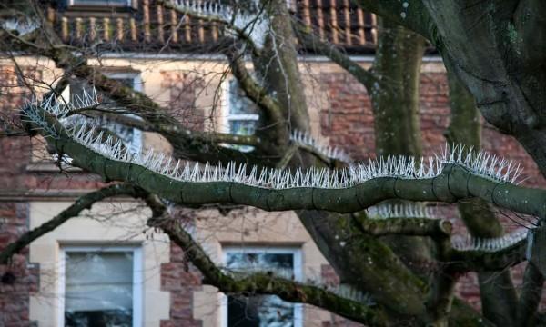 在英國有處富人住宅區,住戶為了保護自家的法拉利、瑪莎拉蒂等名車,竟直接在樹枝上裝滿了長釘,引發外界議論。(圖擷自衛報)
