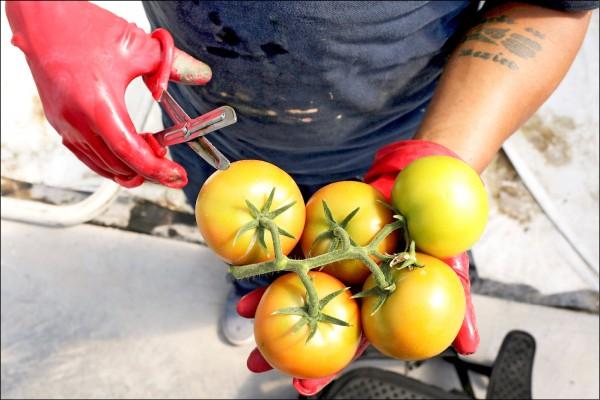 科學家最新研究指出,每天吃超過兩顆番茄,有助人體肺部修護。圖為剛從墨西哥一處溫室採下的新鮮番茄。(路透檔案照)