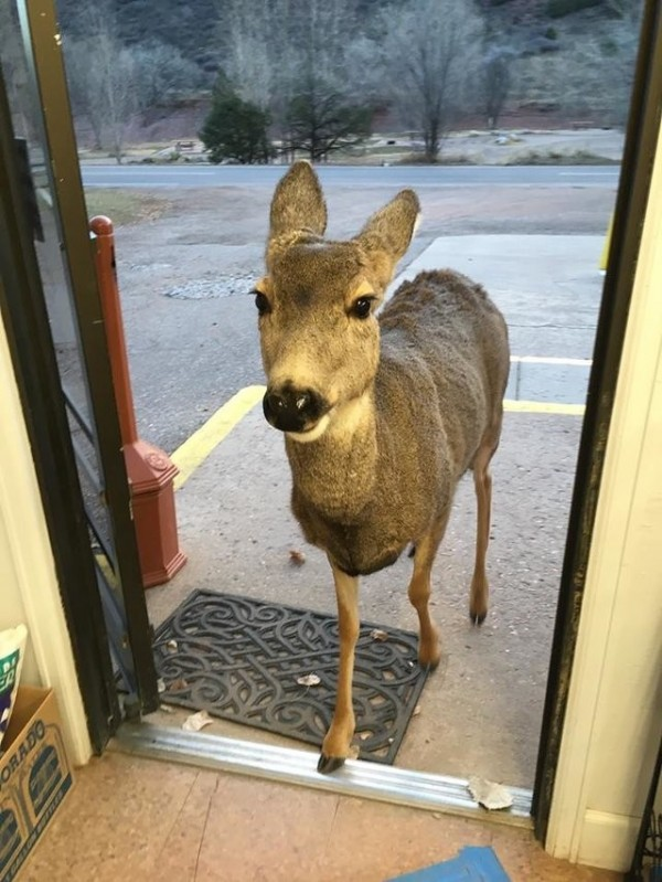 美國有家商店,竟來了一隻母鹿,大搖大擺地走入光顧。(圖擷取自《The Dodo》)
