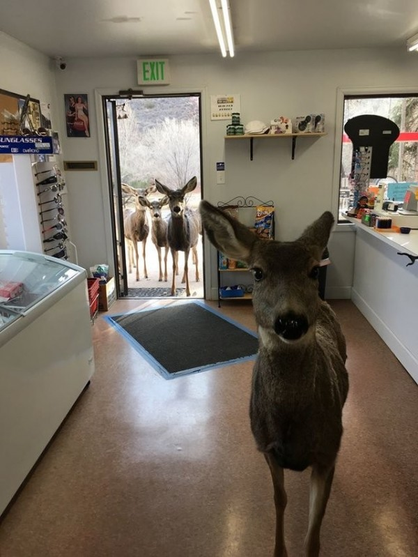 母鹿離開30分鐘後,竟「攜家帶眷」再次返回該店,全家大小一起守在門外的景象,讓店員哭笑不得,趕緊拍下留念。(圖擷取自《The Dodo》)