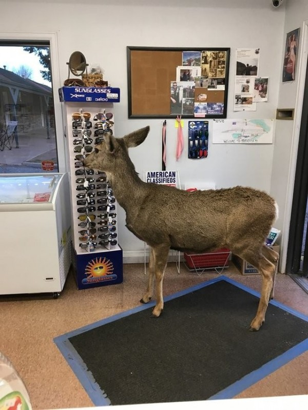 誤闖的母鹿非常專注地盯著太陽眼鏡,好像真的在為誰而挑選般,令店員會心一笑。(圖擷取自《The Dodo》)