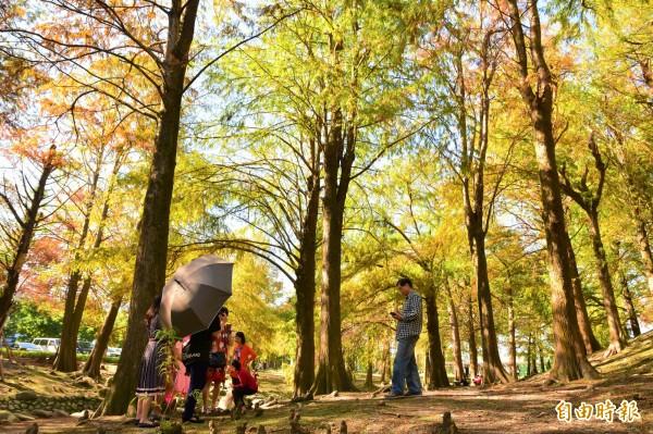 隨幾波冷氣團來襲,宜蘭縣羅東運動公園的落羽松林已開始變色,不少遊客趁好天氣前往遊玩。(記者張議晨攝)