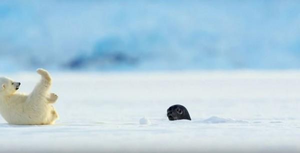 北極熊寶寶看到海豹從冰面探頭,嚇得當場跌倒。(圖擷自《BBC》YouTUbe頻道)