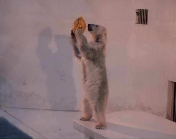 北極熊Maruru丟球自娛,排解孤單。(圖翻攝自朝日新聞)