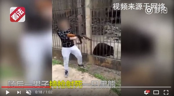 一名在緬甸旅遊的中國男子,持槍躲殺一頭瀕臨絕種的亞洲黑熊,自稱獲得緬甸政府許可。(圖擷取自YouTube)