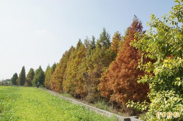 林內九芎村外的落羽松,是處藏在田野中的私房景點。(記者詹士弘攝)
