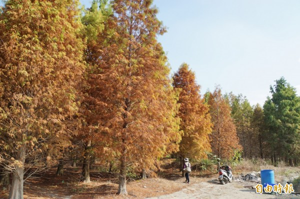 這一大塊落羽松林相整齊,類似人工造林,整理得很好。(記者詹士弘攝)