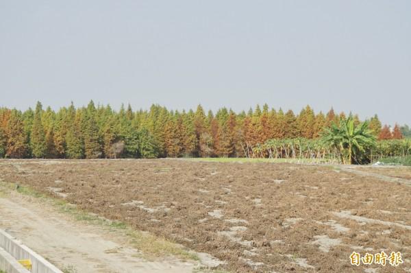 落羽松林相整齊,整理得很好,附近都是農田,就像藏在隱秘處的秘林,只有熟門熟路的人才找得到。(記者詹士弘攝)
