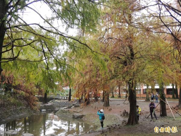 羅東運動公園落羽松美得像一幅畫。(記者江志雄攝)