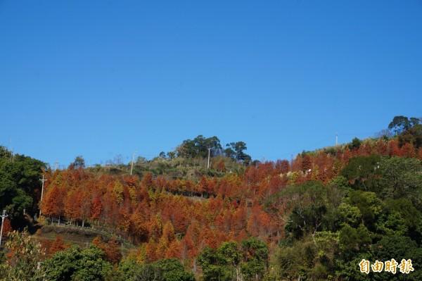 潭子新田山區出現大片美麗的落羽松林。(記者歐素美攝)