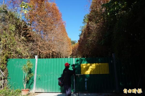 民眾在落羽松林園前拍照。(記者歐素美攝)
