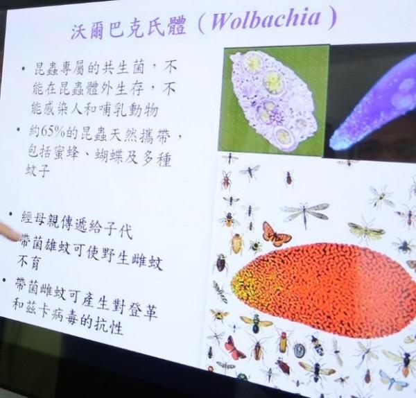 以沃爾巴克氏菌(Wolbachia)對埃及斑蚊抑制策略。(記者洪瑞琴翻攝)