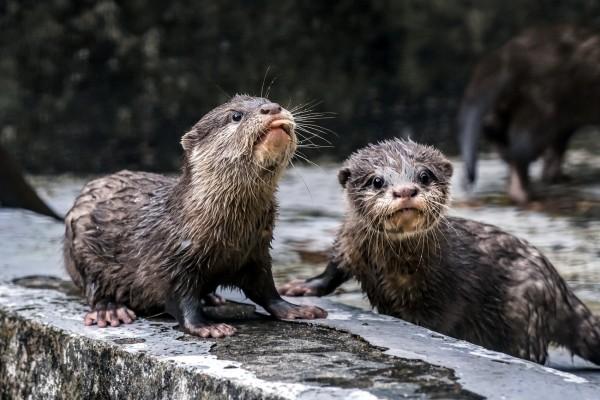3個月大的小爪水獺寶寶開始練習學游泳。(台北市立動物園提供)
