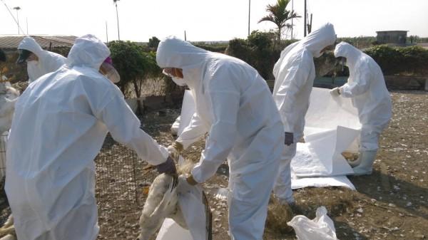 嘉縣農業處利用空拍機觀察鴨隻狀況,意外發現罹患禽流感鴨隻。圖為養鴨場撲殺示意圖。(屏東縣政府提供)